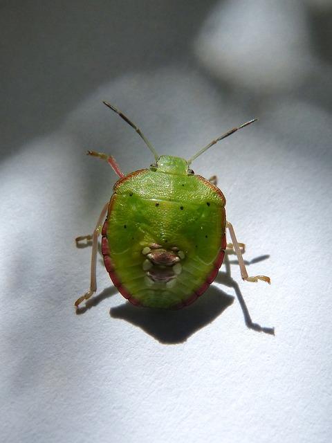 Green Prasina, I Pentatomid, Bug Hedionda