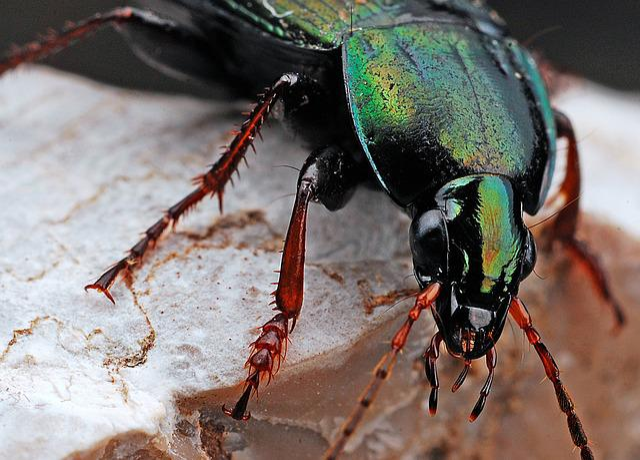 Beetle, Insect, Macro, Nature, Black, Bug