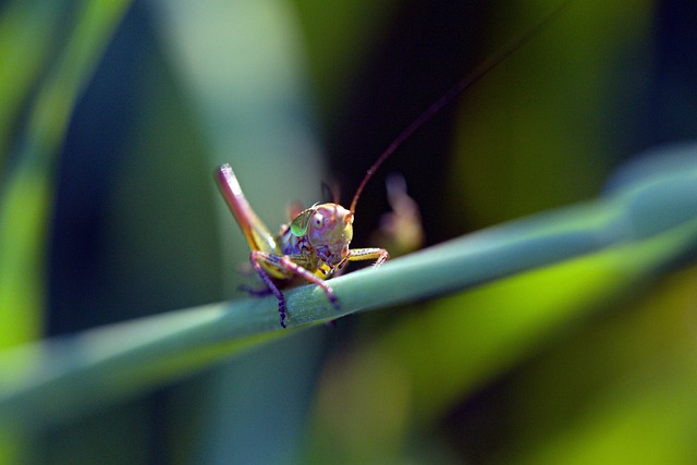 Grasshopper, Insect, Macro, Bug, Nature, Wildlife