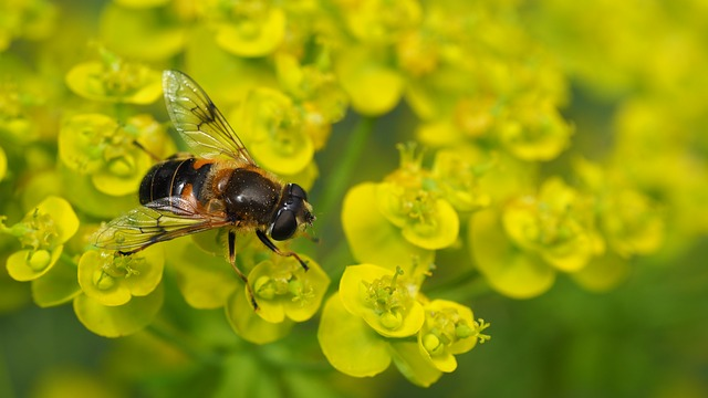 Bee, Bumble-bee, Sedum, Flower, Bug, Insect, Nature