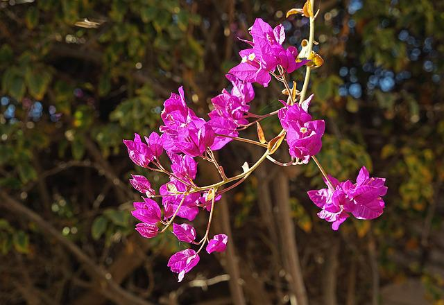 Buganvilla, Flowers, Purple, Lanzarote, Branch