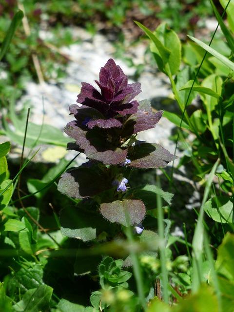 Pyramidalis, Bugle, Flower, Plant, Reddish