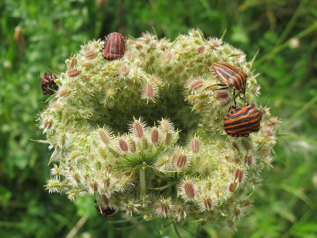 Daucus Carota, Wild Carrot, Wildflower, Bugs, Insects