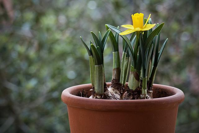 Bulb, Narciso, Plant, Nature, Leaf, Garden, Flower