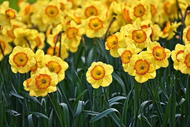 Daffodil, Flower, Plant, Bulbous, Blooming, Springbloom