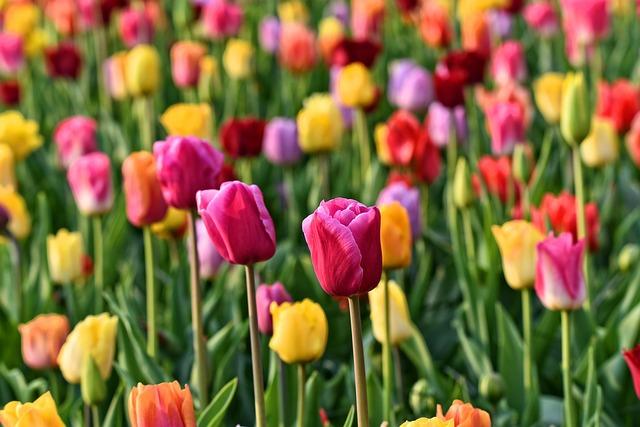 Tulip, Flower, Plant, Bulbous, Bloom, Blossoming
