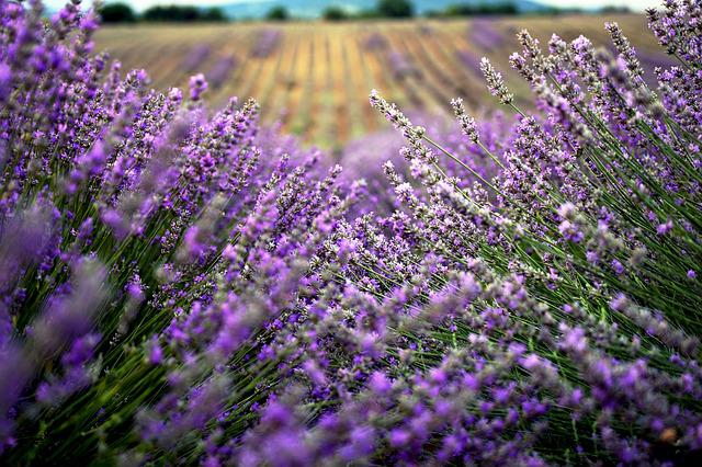 Lavender, Field, In, Bulgaria