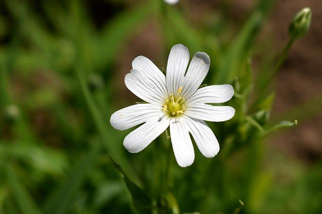White, Flower, Bulgaria