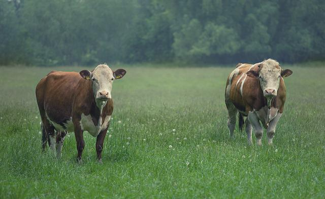 Cattle, Bull, Cow, Beef, Pasture, Agriculture, Cows