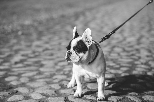 Adorable, Animal, Autumn, Black, White, Breed, Bulldog