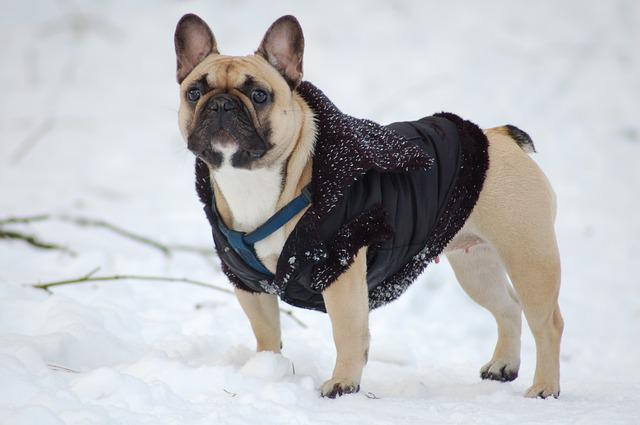 Bulldog, Dog, Snow