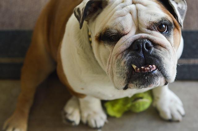 Bulldog, Underbite, Dog, Canine, Animal, Pet, Teeth