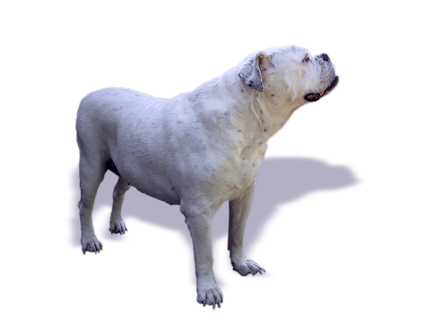 Dog, Bulldog, Oldebulldog, Old English Bulldog