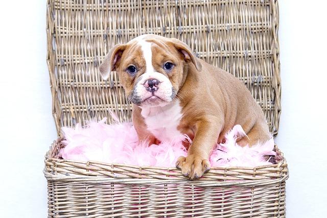 Puppy, Bulldog, Dog, Sweet, Pet