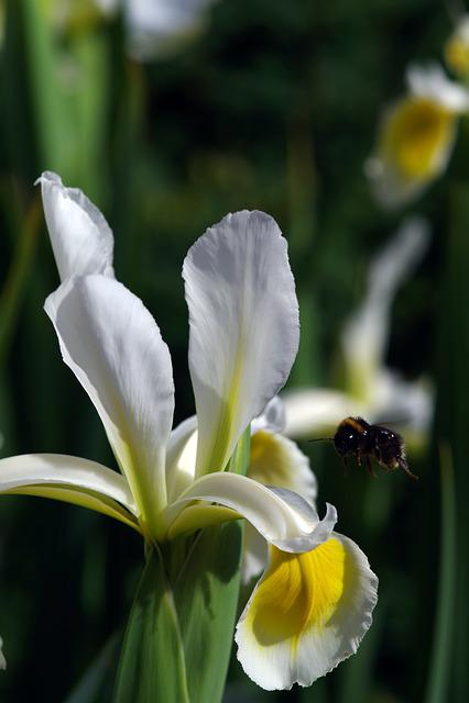 Iris, Bee, Flower, White, Garden, Outdoors, Bumble