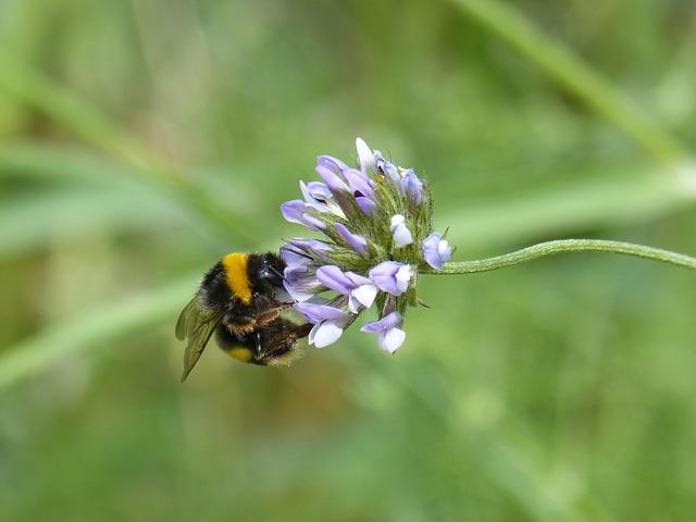 Bumblebee, Drone, Borinot, Libar, Flower