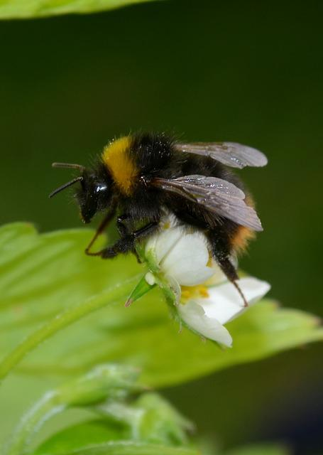 Nature, Insect, Bumblebee, Flower, Summer, Animals