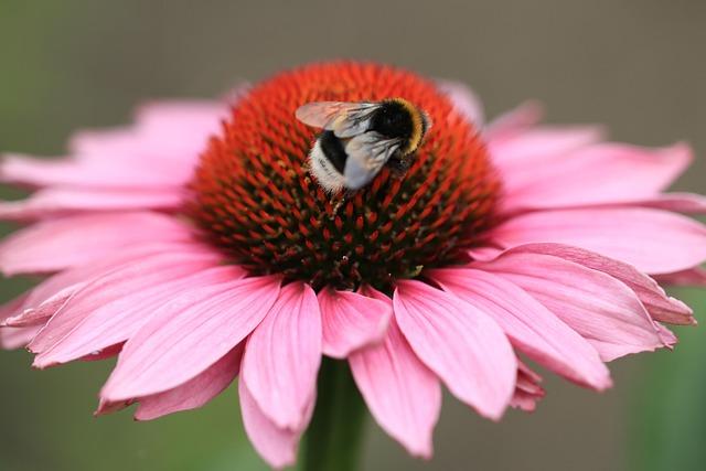 Flower, Sun Hat, Rudbeckia, Pink, Bumblebee, Flowers