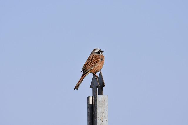 Animal, Bird, Wild Birds, Bunting, Wild Animal, Natural