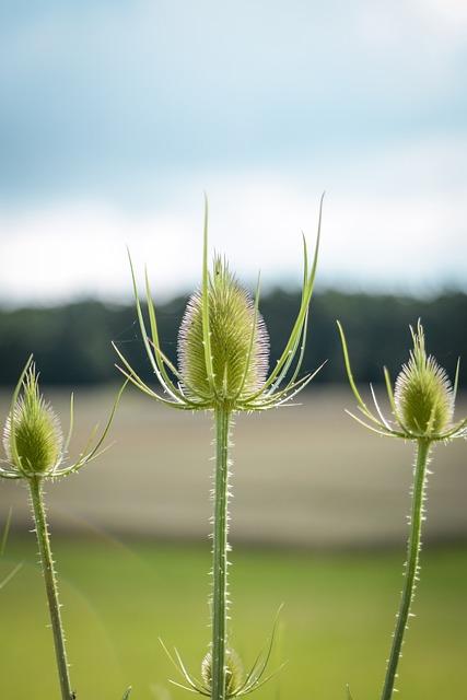 Thistle, Burdock, Prickly, Plant, Flora