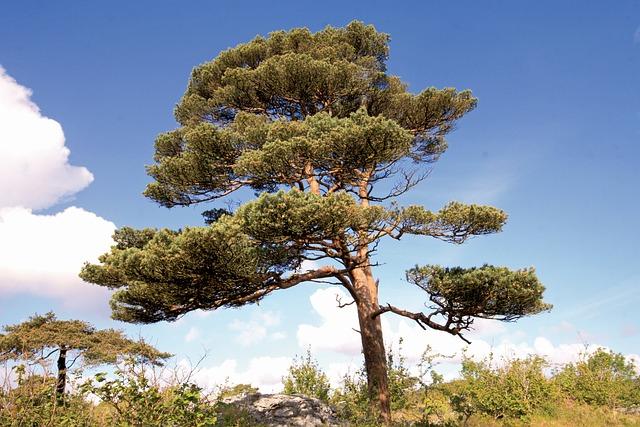 Scots Pine, Pinus Sylvestris, Burren, Clare, Ireland