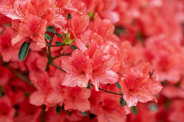 Azalea, Flowers, Bloom, Bright, Bush, Rhododendron