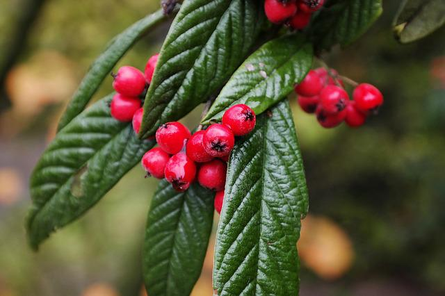 Cotoneaster, Berries, Red, Leaves, Green, Bush, Fruit