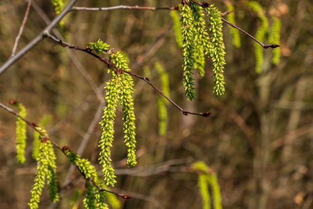 Hazelnut, Common Hazel, Bush, Hazel, Nature