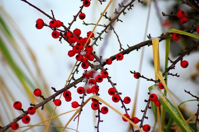 Cotoneaster, Bush, Winter, Nature, Fruit, Red, Beads