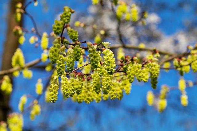 Scheinhaseln, Blumenhaseln, Bush, Flowering Shrub