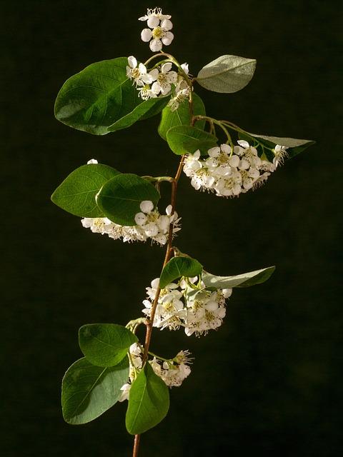 Bush, Blossom, Bloom, Macro, Spiere, Flowering Shrub