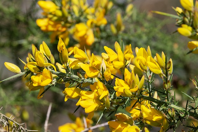 Gorse, Ulex Europaeus, Flowers, Bush, Blossom, Bloom