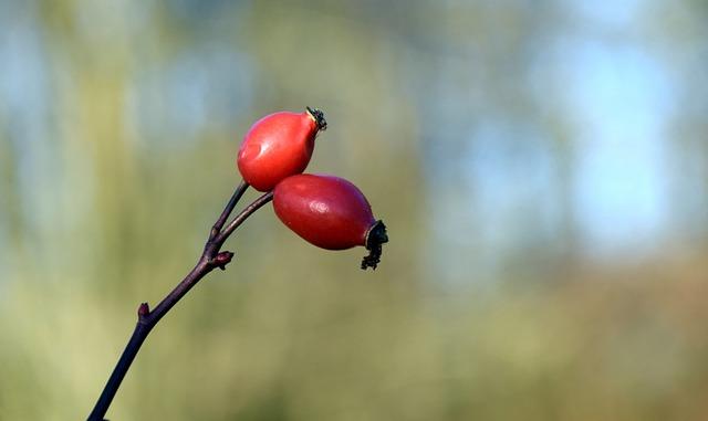 Rose Hip, Red, Nature, Wild Rose, Autumn, Fruit, Bush