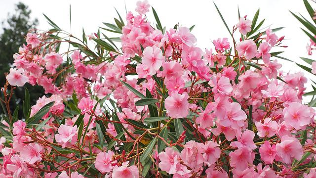 Oleander, Bush, Nerium Oleander, Laurel Rose