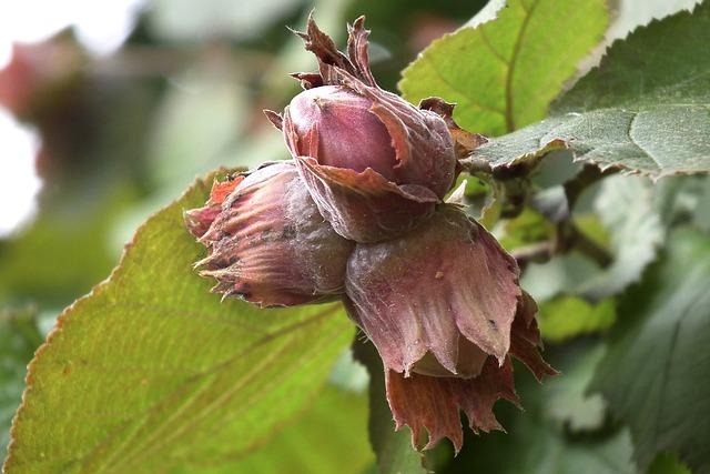 Hazelnut, Fruits, Nut, Tree Fruit, Bush