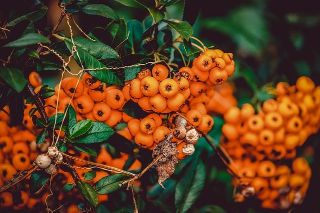 Rowanberries, Bush, Berries, Orange, Fruits, Small