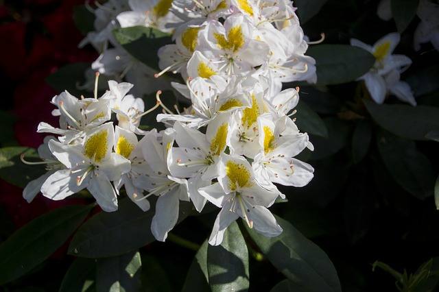 Rhododendron, Flower, Blossoms, Bush, Bloom, Nature