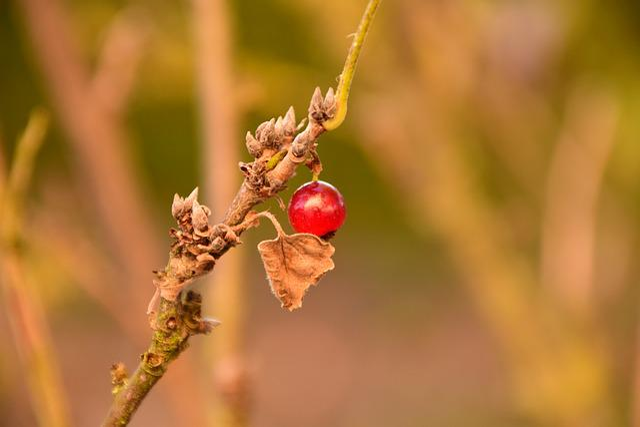 Currant, Autumn, Bush, Fall Color, Gleanings, Ripe
