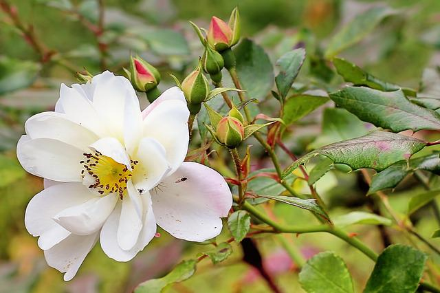 Bush Rose, Wild Rose, Rose, Autumn, White