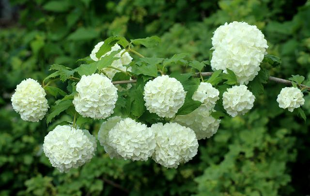 Viburnum, White Flowers, Flourishing, Bush, Spring