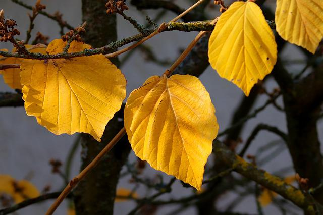 Leaves, Yellow, Witch Hazel, Bush, Witch Hazel Plant