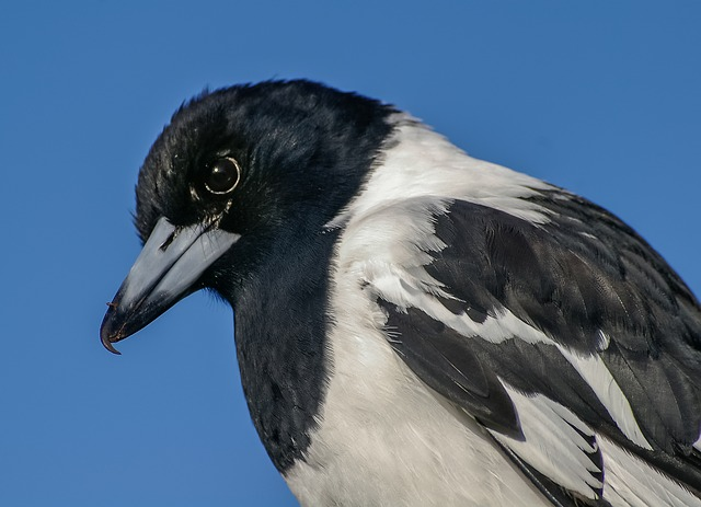 Pied Butcherbird, Butcherbird, Feathers, Bird, Black