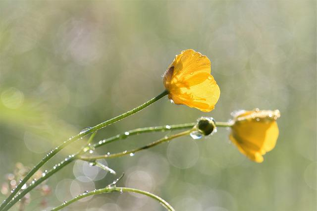 Buttercup, Flower, Wild Flower, Grass, Meadow, Raindrop