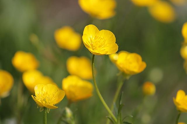 Buttercup, Hahnenfußgewächs, Yellow, Flowers