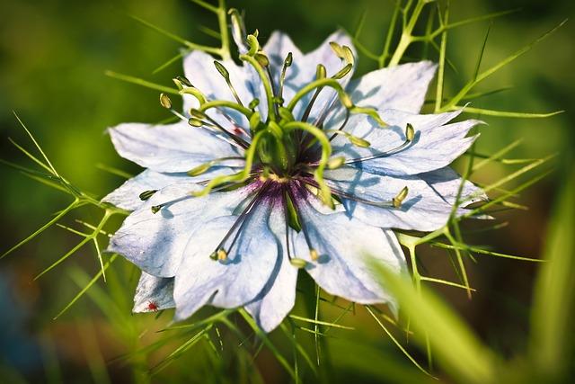 Nigella, Buttercup, Flower, Blossom, Bloom