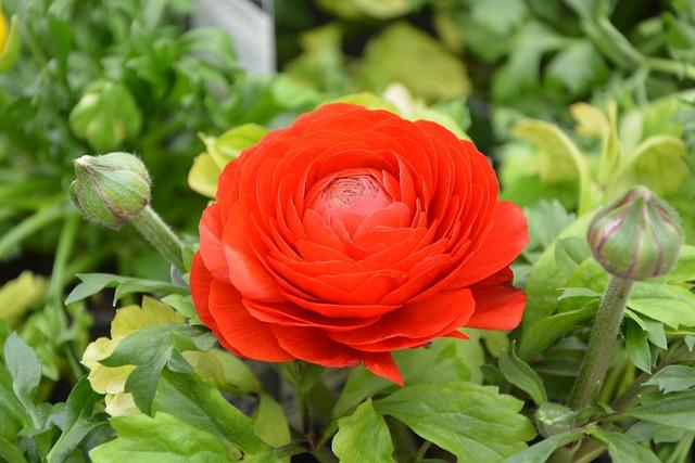 Flower Plant, Buttercup, Flower, Plant, Nature, Garden