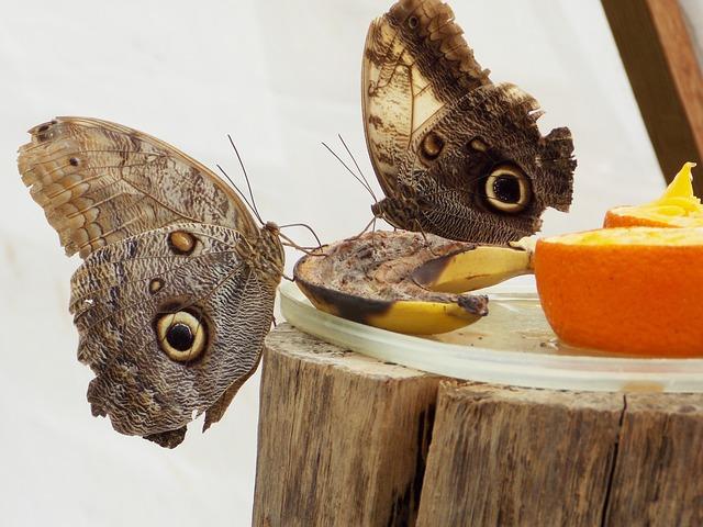 Owl Butterfly, Butterfly, Butterflies
