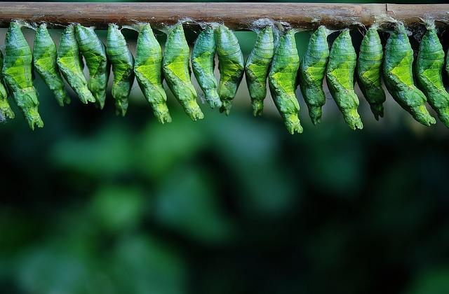 Cocoon, Cocoon Butterfly, Larva, Larvae, Butterflies