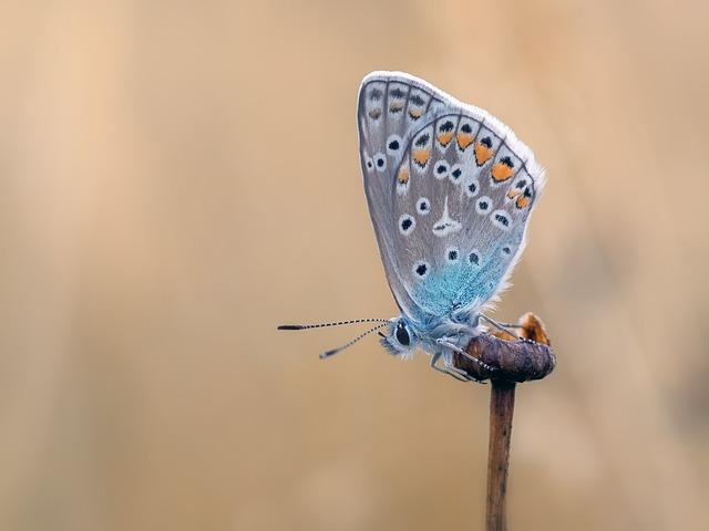 Butterfly, Common Blue, Butterflies, Lycaenidae, Wing