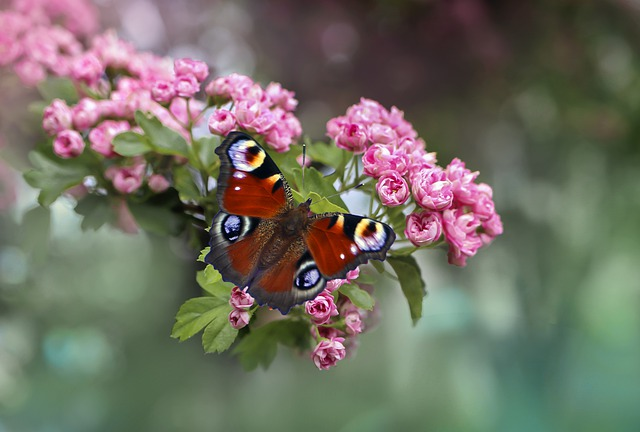 Butterfly, Butterflies, Flower, Flowers, Nature, Insect